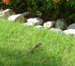 Alligator lizard in the ...grass?